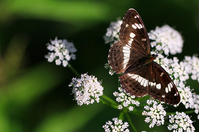 pictures - White Admiral
