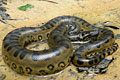 Amazon River - Green Anaconda