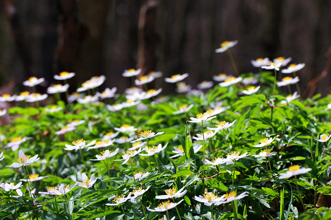 pictures - Wood anemone