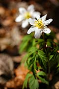 images - Wood anemone