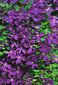 Clematis  - pictures