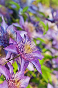 Clematis - photography
