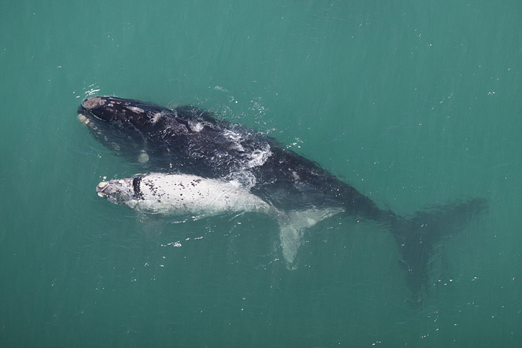 Southern right whale  - pictures